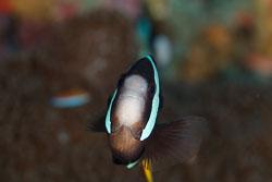 BD-110316-Puerto-Galera-3695-Amphiprion-clarkii-(Bennett.-1830)-[Yellowtail-clownfish].jpg